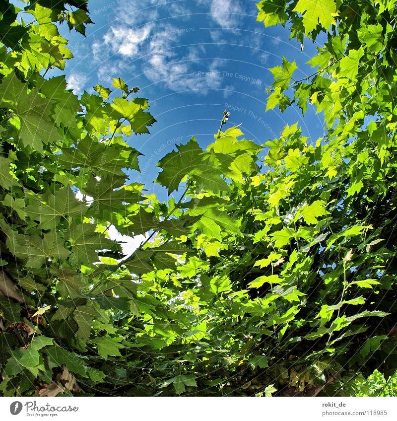 Ausblick Sekt Eltville Rhein Alkoholisiert aufwachen schlafen prickeln Baum Blatt Wolken weiß grün Einblick Blätterdach Rheingau Schatten kalt frisch Sommer