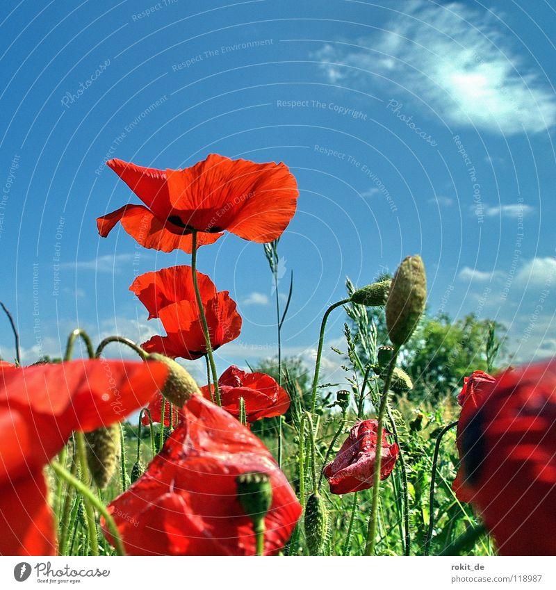 Klatsch... Mohn Himmel Blume grün blau rot Sommer Freude Wolken Wiese Blüte Gras Feld Sträucher Stengel