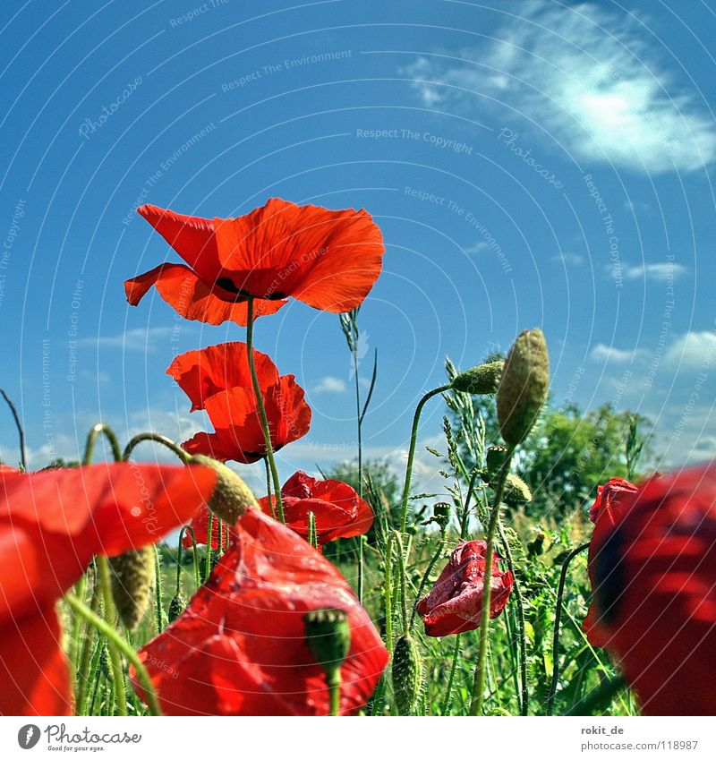 Klatsch... Mohn Himmel Blume grün blau rot Sommer Freude Wolken Wiese Blüte Gras Feld Sträucher Stengel Mohn