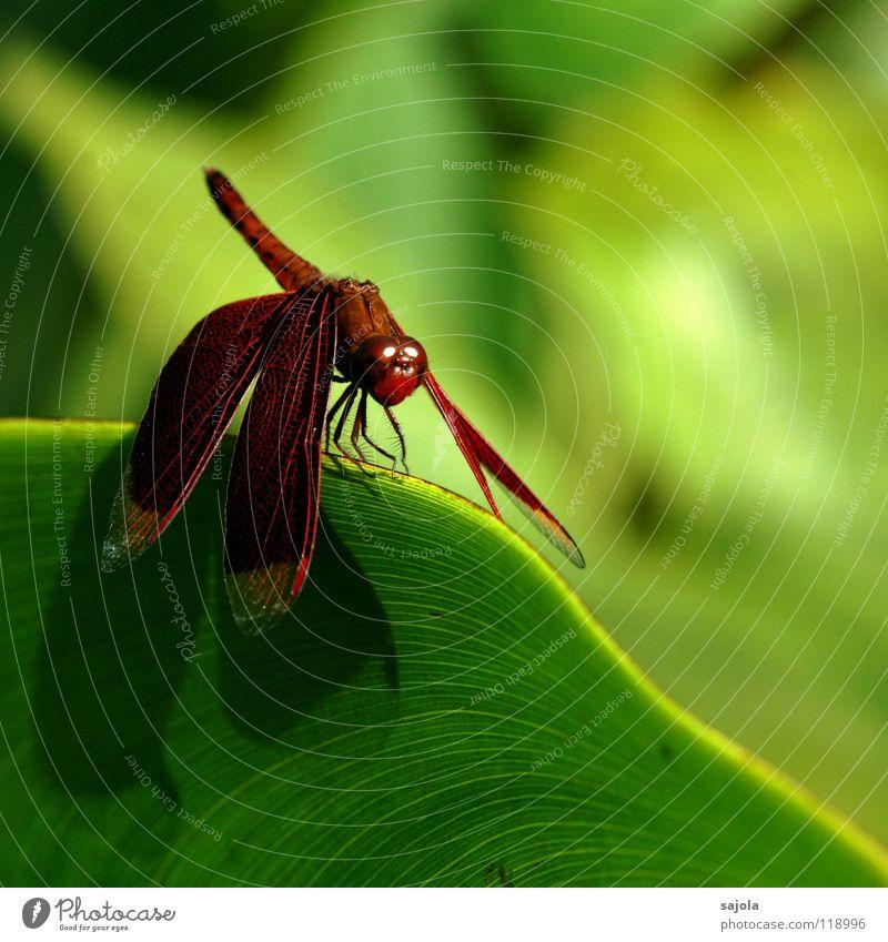 flügel wie samt Tier Wildtier Tiergesicht Flügel 1 grün rot ästhetisch Leichtigkeit Libelle Insekt Auge Samt Asien Singapore Edellibellen edel purpur bordeaux