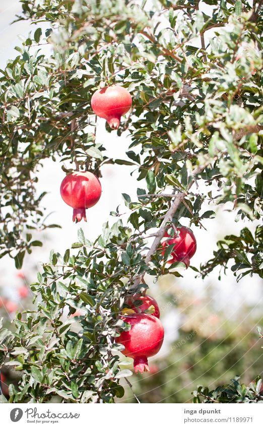 in der Mittagshitze Umwelt Natur Landschaft Pflanze Sommer Schönes Wetter Wärme Baum Nutzpflanze exotisch Granatapfel Frucht Obstbaum Plantage Landwirtschaft