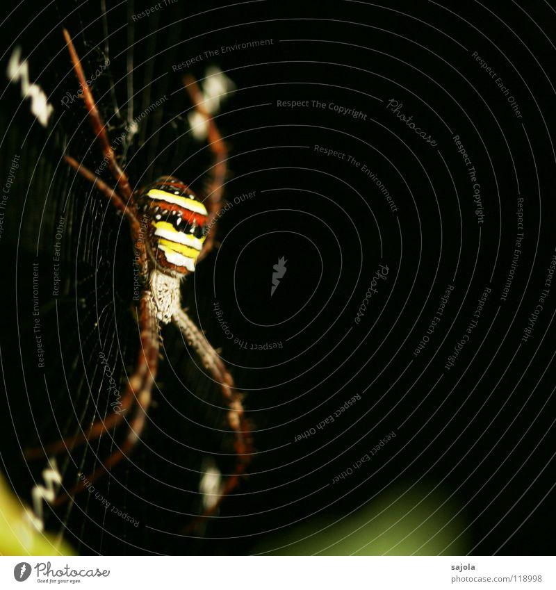argiope Natur Tier Urwald Spinne 1 Streifen Netz gelb rot schwarz gestreift Beine Kopf Radnetzspinne Singapore Spinnennetz Asien Nähgarn Farbfoto mehrfarbig