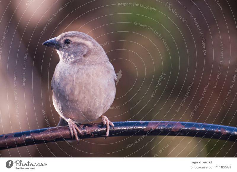 Seitenblick Tier Wildtier Vogel Tiergesicht Singvögel Spatz 1 Blick natürlich braun grau Zufriedenheit Natur Umwelt Farbfoto Außenaufnahme Menschenleer