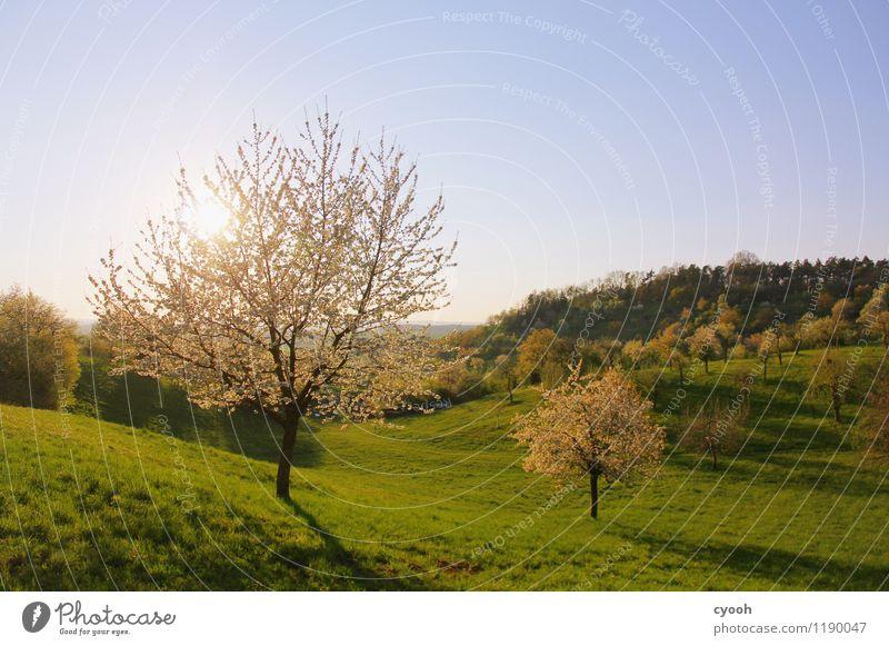 leuchtende Bäume Wolkenloser Himmel Frühling Schönes Wetter Baum Blüte Blühend frei frisch neu weich blau grün weiß Frühlingsgefühle Zufriedenheit Energie Farbe