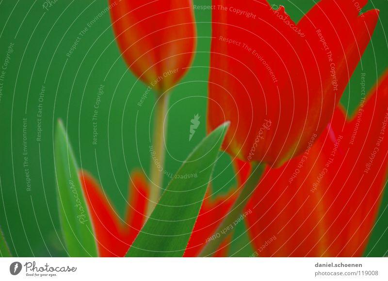 Tulpen eben rot grün Frühling Sommer Blume Blüte Hintergrundbild grasgrün Tiefenschärfe Wiese Gras Makroaufnahme Nahaufnahme feuerrot Natur warme jahreszeit