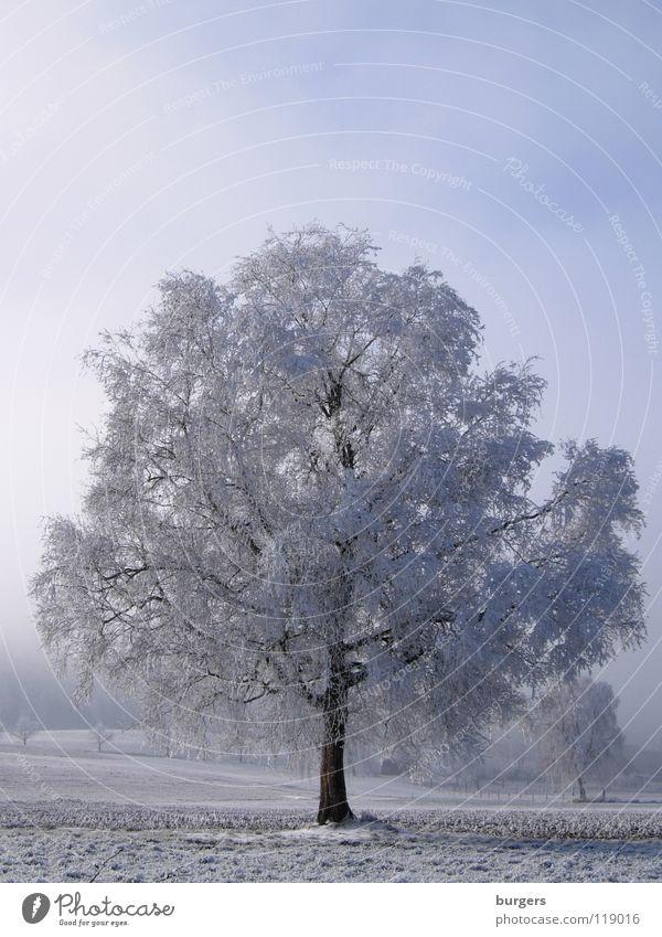Kaltblüte Baum Raureif Feld Winter Schneelandschaft Dezember ruhig Laubbaum Nebel weiß grau schwarz kalt Schweiz Himmel Landschaft Winterbild blau
