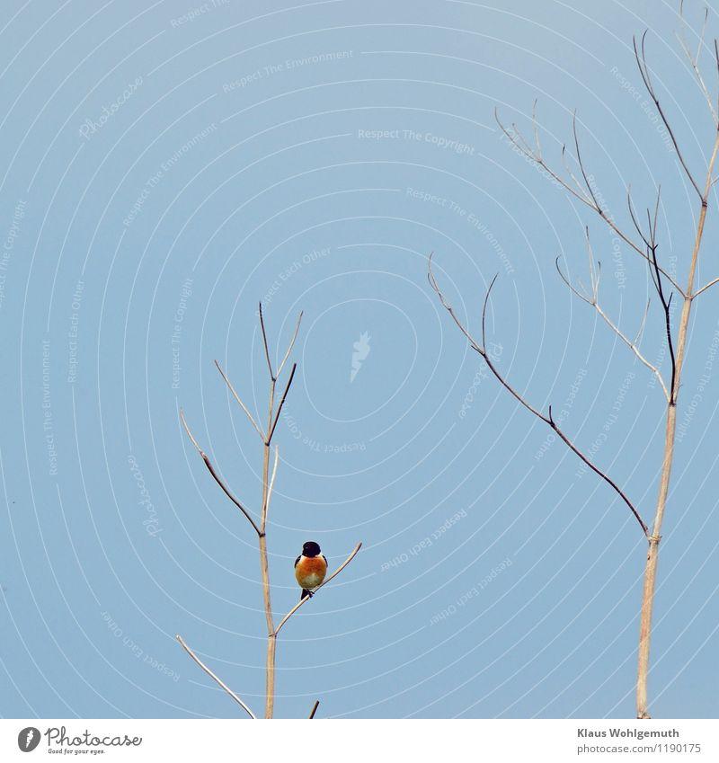 Kleine Rarität Natur blau Sommer weiß rot Tier schwarz Umwelt Frühling Wiese Vogel Feld sitzen warten Stengel exotisch