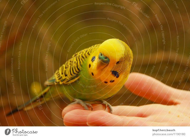 der Spatz in der Hand Tier Vogel Wellensittich Haustier 1 beobachten Fressen Freundlichkeit Fröhlichkeit Neugier Sicherheit Geborgenheit Tierliebe sanft