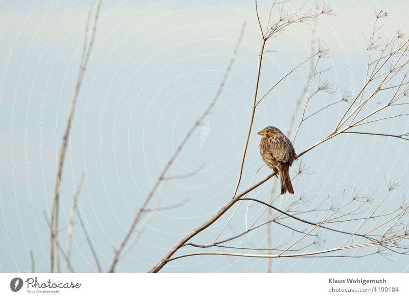 Kein Spatz in der Hand Umwelt Natur Tier Himmel Wolkenloser Himmel Frühling Sommer Schönes Wetter Wiese Feld Vogel Tiergesicht Grauammer Ammer 1 sitzen warten