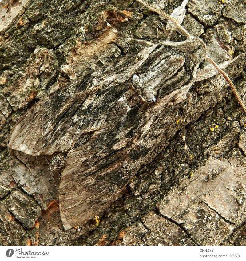 Tarnanzug : Windenschwärmer_04 (Agrius convolvuli) Schmetterling Täuschung Baumrinde Tarnung Insekt Tier Sommer grau braun rot Fühler wandern Motte Tarnfarbe