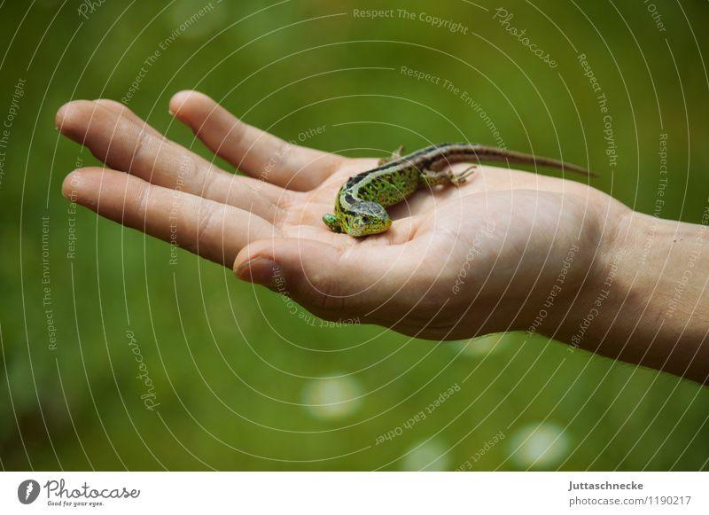 Eidechse Hand Natur Tier Sommer Wildtier Schuppen 1 berühren krabbeln sitzen tragen niedlich grün Tierliebe Rettung Schutz Umwelt Umweltschutz Halt Echsen klein