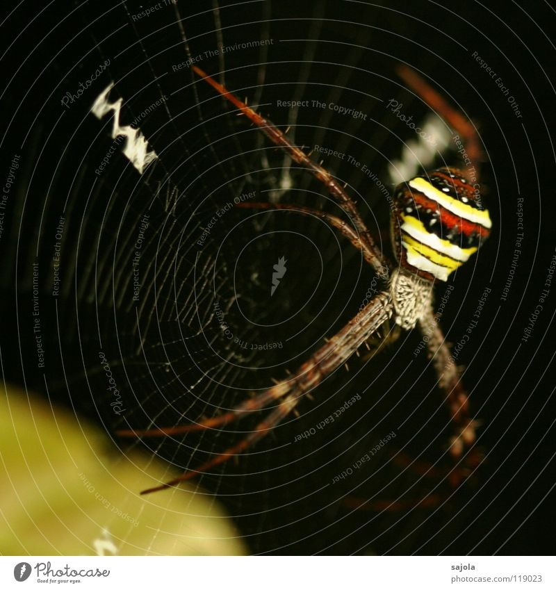 argiope II Natur Tier Urwald Spinne 1 Streifen Netz Ekel gelb rot schwarz gestreift Beine Kopf Radnetzspinne Singapore Spinnennetz Asien Nähgarn Farbfoto
