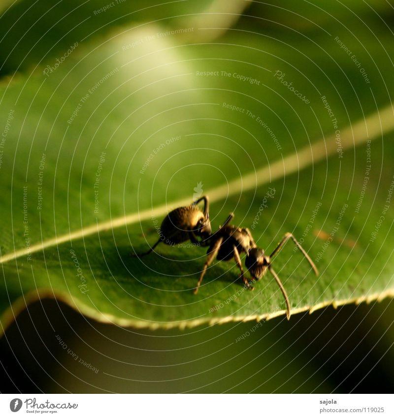 goldene ameise (unscharf) Tier Blatt 1 krabbeln grün Ameise Insekt Kopf Fühler Beine Asien Singapore Farbfoto Außenaufnahme Nahaufnahme Makroaufnahme