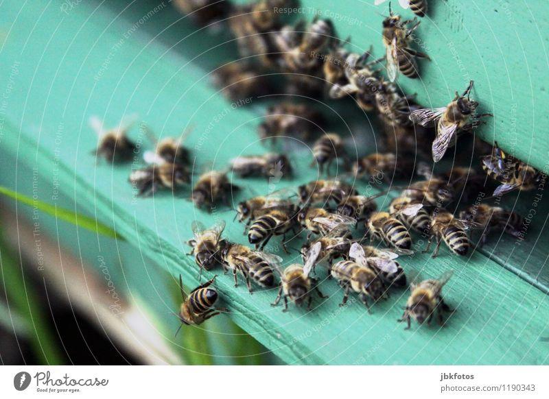 sumsumsum Natur Tier Umwelt Blüte fliegen ästhetisch Tiergruppe einzigartig Schönes Wetter Landwirtschaft Süßwaren Biene Sammlung Aggression Schwarm Nutztier