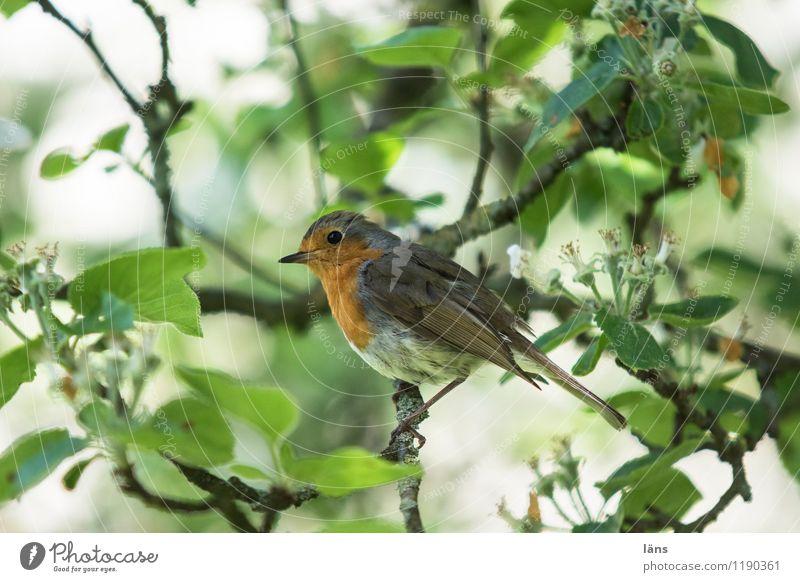 alles im grünen Bereich Natur Frühling Baum Garten Vogel 1 Tier sitzen niedlich rot achtsam Rotkehlchen Apfelbaum Ast Außenaufnahme Menschenleer