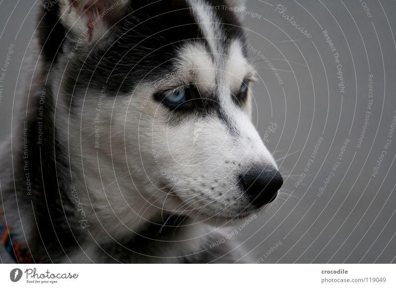 husky Trauer Welpe Fell weich süß niedlich Spielen Schnauze Muster Hund Schlittenhund kinderlieb Freundlichkeit Streicheln Freude Säugetier huskey Traurigkeit