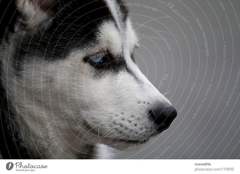 husky II Trauer Welpe Fell weich süß niedlich Spielen Schnauze Muster Hund Schlittenhund kinderlieb Freundlichkeit Streicheln Freisteller Säugetier huskey