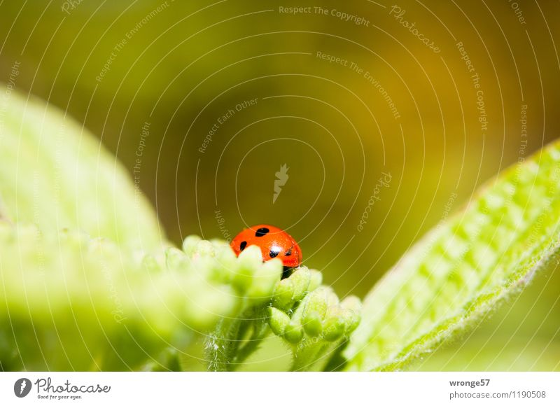 Farbklecks Pflanze grün Sommer rot Blatt Tier schwarz Blüte klein Wildtier Sträucher Insekt gepunktet Käfer Blattgrün Marienkäfer
