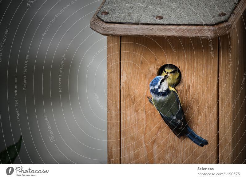 essen fassen Tier Tierjunges Vogel Wildtier Tiergesicht füttern Nistkasten Meisen Tierfamilie Blaumeise