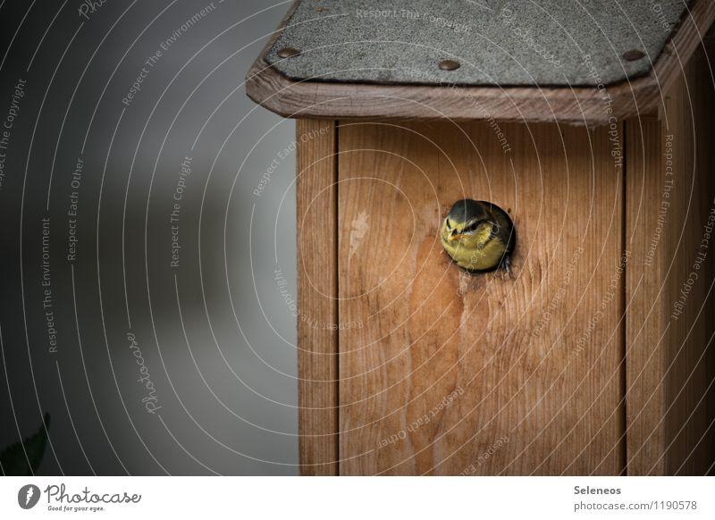 junger Hüpfer Umwelt Natur Tier Wildtier Vogel Tiergesicht Meisen Blaumeise 1 Tierjunges Erholung klein Nistkasten Farbfoto Außenaufnahme Textfreiraum links