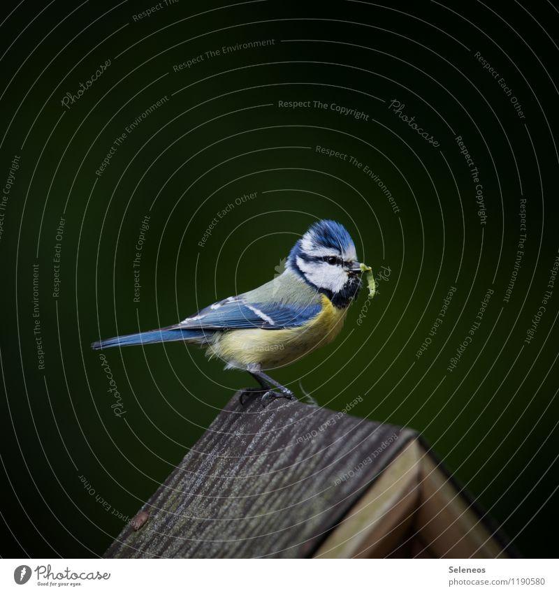 Die fetten Tage Natur Tier Umwelt Frühling Wiese natürlich klein Garten Vogel Park Flügel Tiergesicht füttern Wurm Meisen Blaumeise