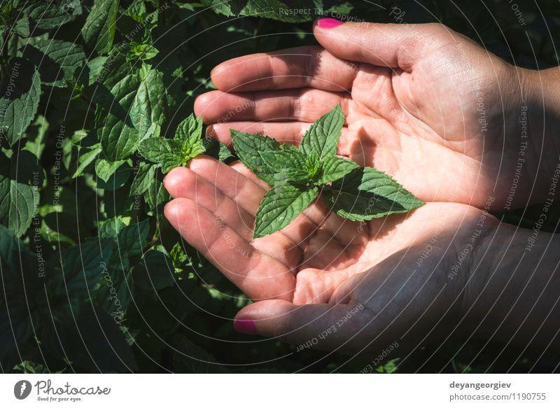 Hände halten Minzblätter Gemüse Kräuter & Gewürze Garten Gartenarbeit Frau Erwachsene Hand Natur Pflanze Blatt Wachstum frisch grün Minze Feld Pfefferminz