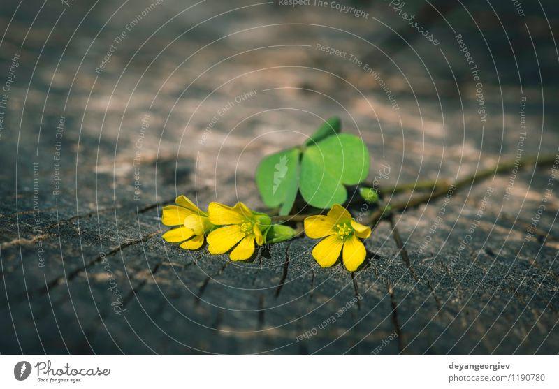 Kleine gelbe Blumen schön Sommer Tisch Natur Pflanze Baum Blatt Blüte alt natürlich wild weiß Holz Hintergrund Frühling hölzern Konsistenz Würze Vase M