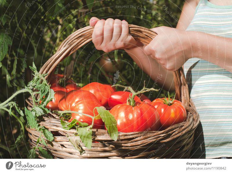 Tomaten im Korb auswählend Gemüse Frucht Vegetarische Ernährung Lifestyle Sommer Garten Gartenarbeit Mensch Frau Erwachsene Hand Natur Pflanze frisch natürlich