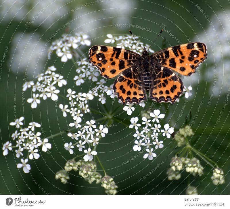 Landkärtchen in Frühlingstracht Natur Pflanze grün Sommer weiß Erholung Blume Tier Wald Umwelt Blüte Wiese natürlich Glück Garten