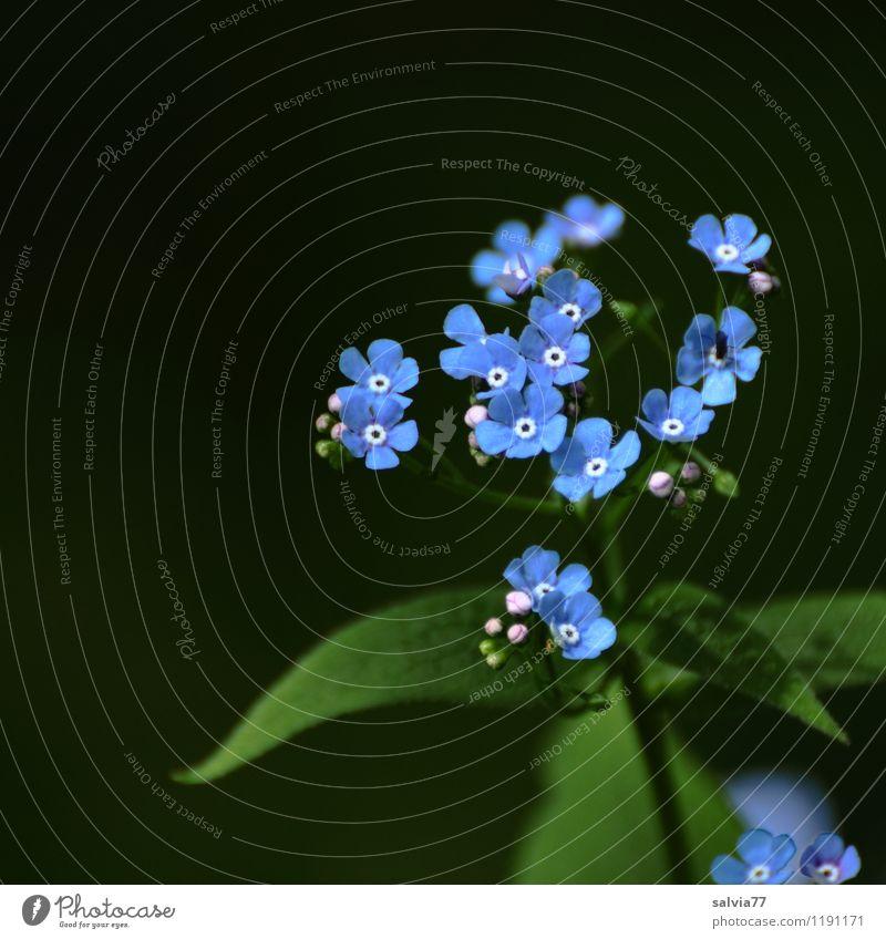 Waldvergißmeinicht Natur blau Pflanze schön grün Sommer Blume Blatt Frühling Blüte natürlich Glück klein Garten frisch