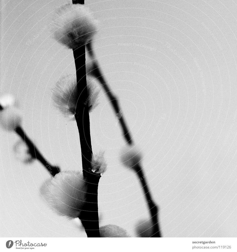 verzweigt Weidenkätzchen Pflanze einfarbig schwarz weiß weich kuschlig Haptik Unschärfe Trauer Winter schön geschmeidig zart Frühling Botanik niedlich süß