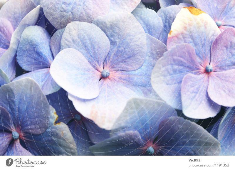 Hortensie Natur blau Pflanze schön Blume Blüte natürlich Garten rosa Freizeit & Hobby Blühend violett Blumenstrauß Gartenarbeit Topfpflanze
