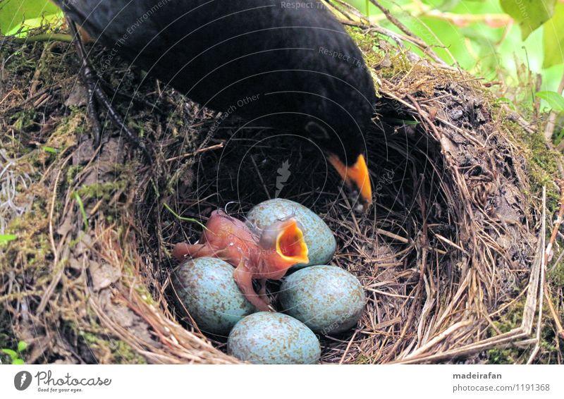 Amselküken-Trompetenmaul-Male-feeding-blackbird-IMG_9084-AS Tier Tierjunges Vogel Wildtier Fressen Krallen
