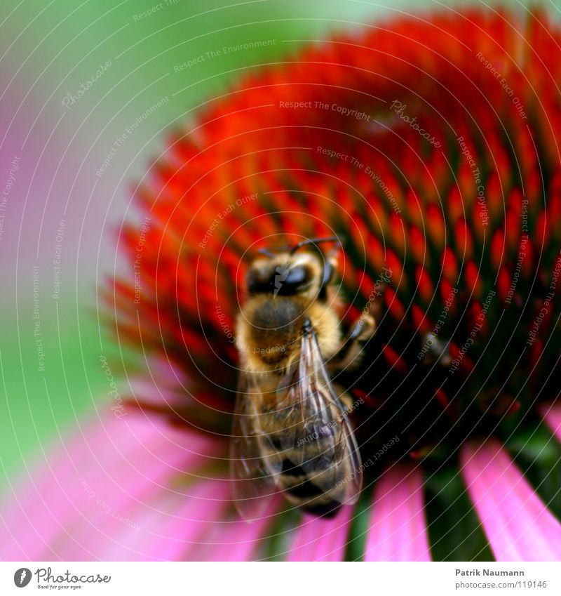 Das Honigkomplott .. Biene Wespen Insekt Blume Pflanze Tier krabbeln stechen Bienenstock Imker süß Jäger rot grün rosa nah Unschärfe Tiefenschärfe Natur