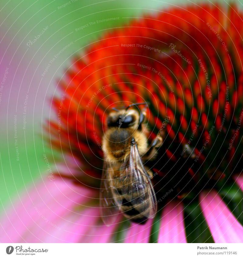 Das Honigkomplott .. Natur grün rot Pflanze Blume Tier Ernährung Arbeit & Erwerbstätigkeit rosa süß nah Biene Insekt Ernte Tiefenschärfe krabbeln