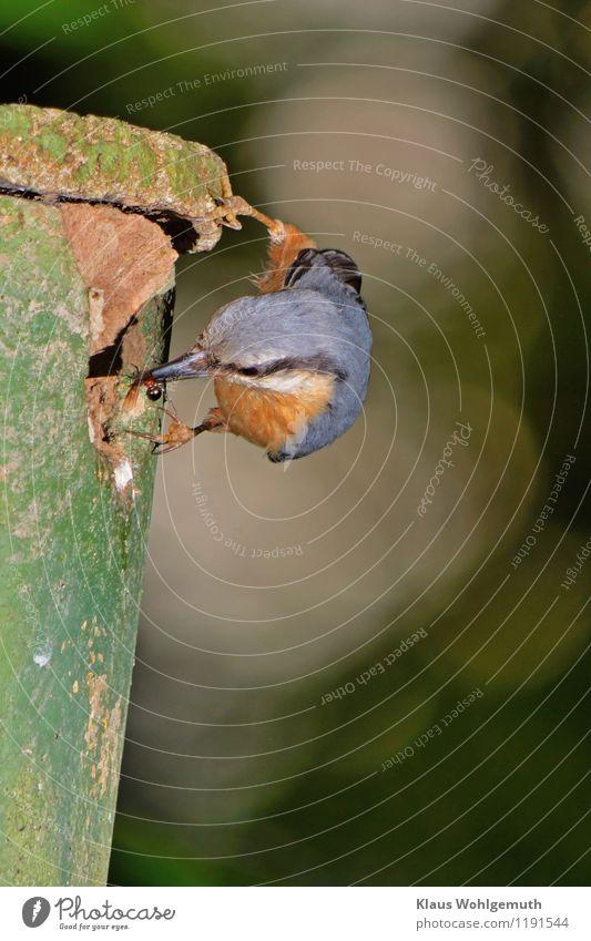 Fast Food, oder der Tod einer Königin Dienstleistungsgewerbe Natur Tier Frühling Sommer Garten Park Wald Kleiber Sitta Europaea fliegen Fressen füttern exotisch