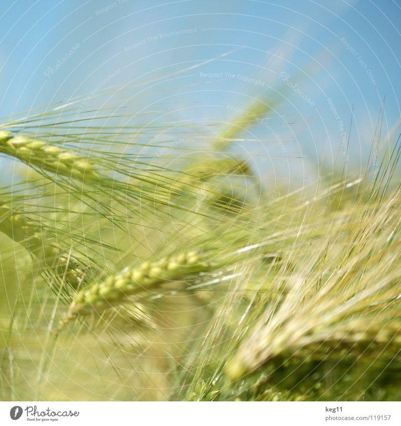 Roggenfänger Himmel Natur blau grün weiß schön Sommer Pflanze Blume Freude ruhig Erholung Landschaft Wiese Gras braun