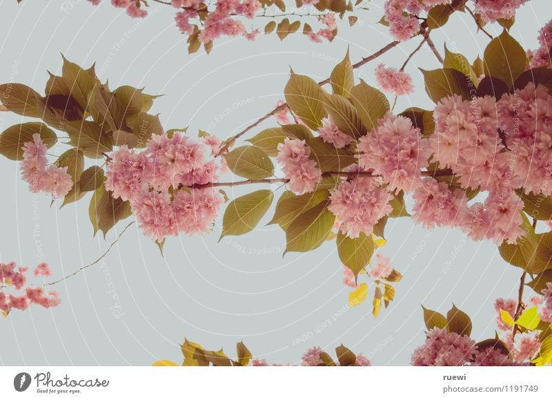 Kirschblüte Ausflug Feste & Feiern Natur Pflanze Wolkenloser Himmel Frühling Schönes Wetter Baum Blüte Kirschblüten Kirschbaum Garten Park Holz Blühend