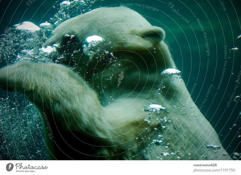 tauchender eisbaer Tier Wildtier Tiergesicht Krallen Zoo Eisbär 1 atmen Schwimmen & Baden Coolness nass blau türkis kalt Farbfoto Gedeckte Farben Innenaufnahme
