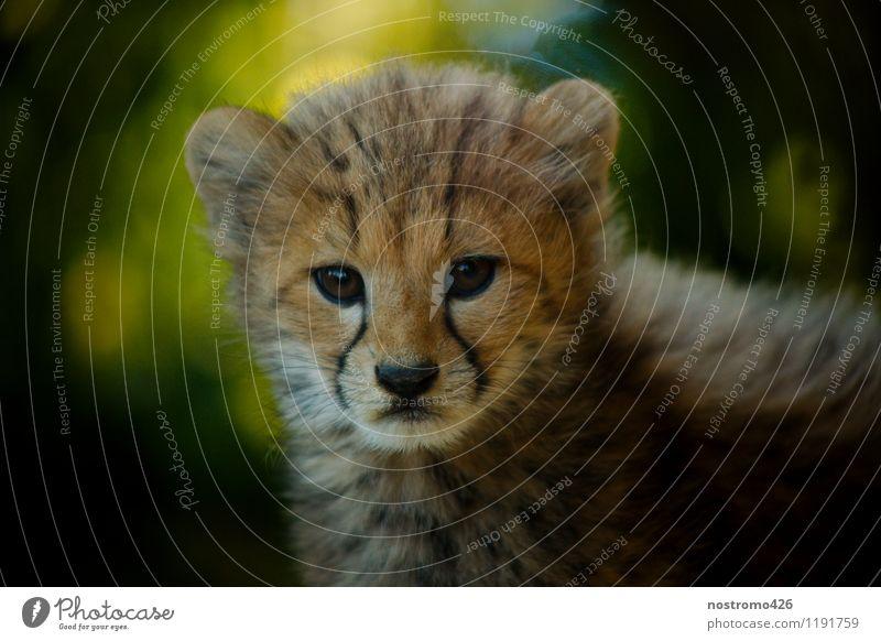 geparden junges Tier Wildtier Tiergesicht Zoo Gepard 1 Tierjunges entdecken Blick elegant kuschlig klein niedlich wild Neugier Interesse Farbfoto mehrfarbig