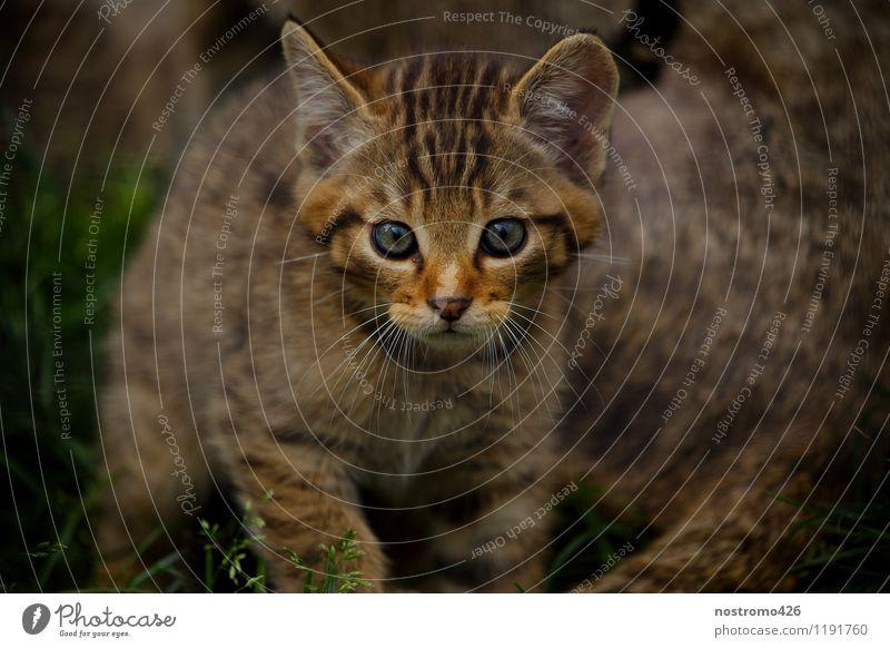 wildkaetzchen Tier Wildtier Katze Tiergesicht Zoo Wildkatze 1 Tierjunges entdecken laufen Blick kuschlig klein niedlich Neugier Interesse Farbfoto mehrfarbig