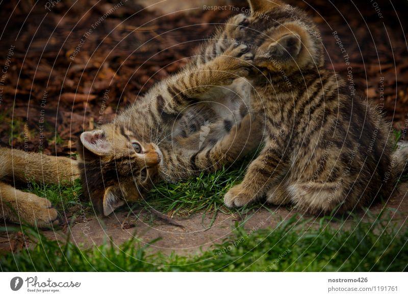 spielende wildkaetzchen Tier Wildtier Katze Tiergesicht Pfote Zoo Wildkatze 2 Tiergruppe Tierjunges berühren Spielen kuschlig niedlich Freude Farbfoto