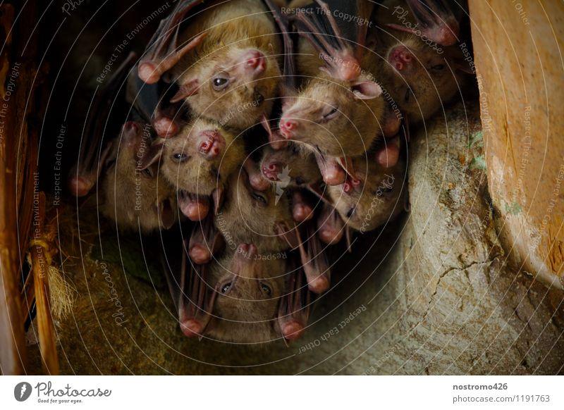 haengende flughunde Tier Wildtier Tiergesicht Flügel Zoo Flughunde Tiergruppe Rudel Zusammensein kuschlig nah Wärme Schutz Geborgenheit Farbfoto Innenaufnahme