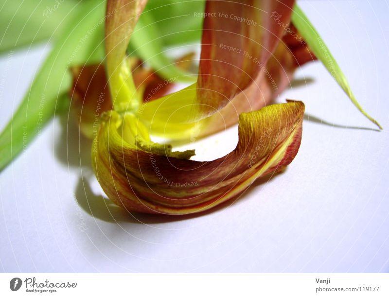 Tulpe Natur Blume Pflanze Farbe Blüte Vergänglichkeit zart Stengel leicht Tulpe sanft Pollen zerbrechlich getrocknet Blütenblatt