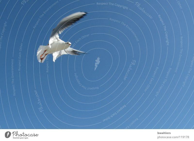 Möwe Vogel Luft Sommer Himmel blau Bodensee Freiheit fliegen
