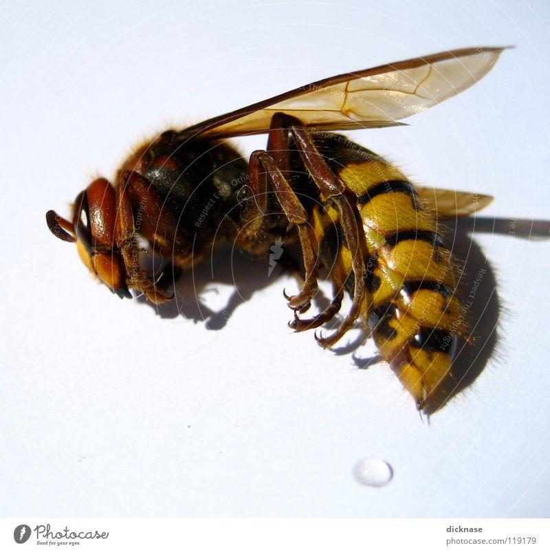 ...die schläft immer noch! Hornissen gefährlich schlafen bedrohlich stechen Zoomeffekt Härchen Fühler rot gelb schwarz weiß die schläft nur keine wespe