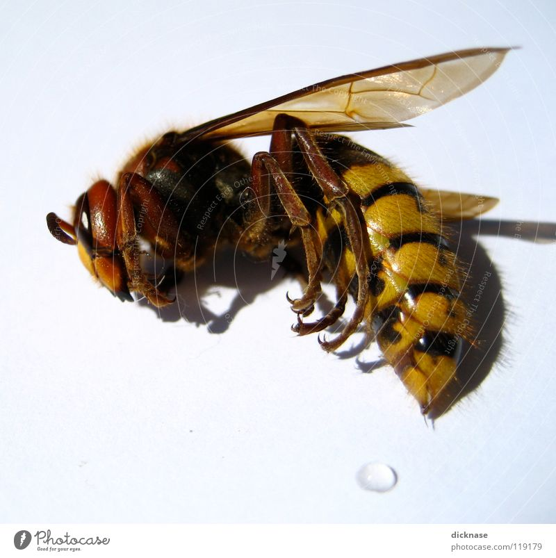 ...die schläft immer noch! weiß rot schwarz Auge gelb Erholung Beine Angst Arme fliegen schlafen gefährlich bedrohlich Flügel Maske Respekt