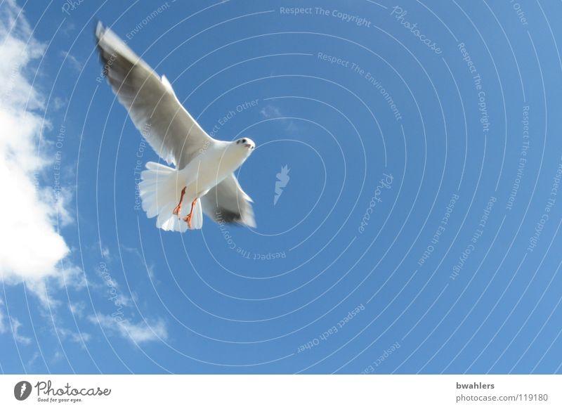 Möwe 2 Vogel Sommer Wolken Himmel Bodensee blau Freiheit fliegen