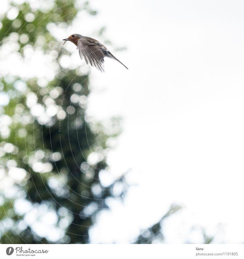 flieg Natur grün Baum fliegen Vogel Rotkehlchen