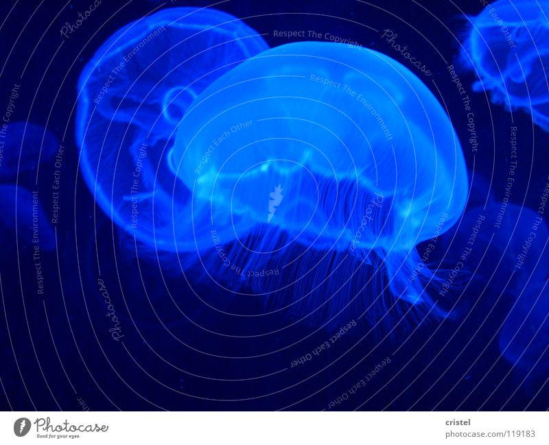Ohrenqualle (Aurelia aurita) Qualle Nesseltiere Aquarium Meeresfrüchte Meduse Oceanografico Valencia blau Meerestier schirmartige Gestalt Fisch